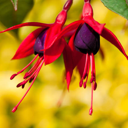 A close-up of red fuchsia blooms against a bright green background.