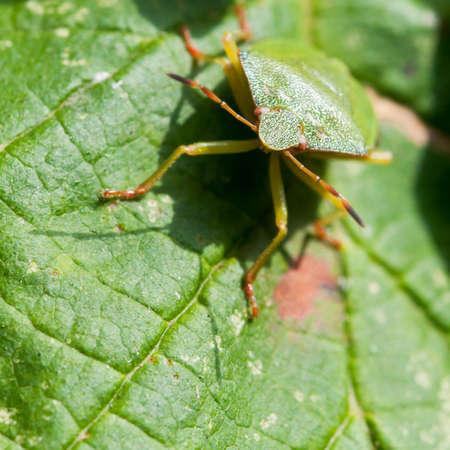 green shield bug: A green shield bug sits on a green hazelwood leaf.