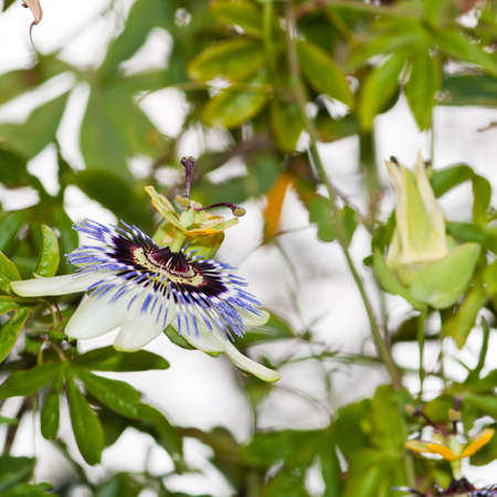 Focussing on a single passion flower bloom amongst the greenery. Stock Photo
