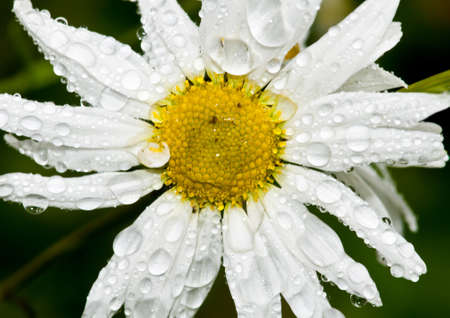 ox eye: A macro shot of a wet ox eye daisy.