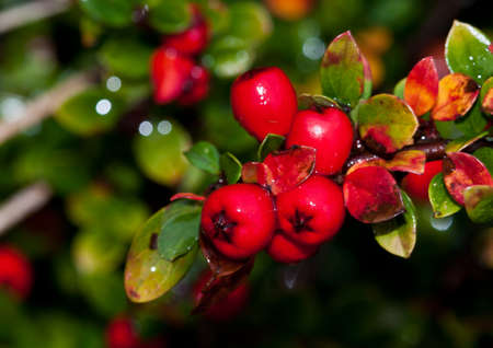 The red berries of a cotoneaster bush. Stock Photo