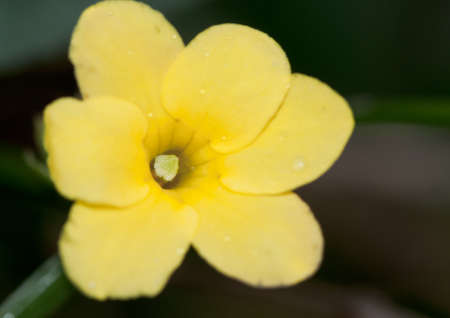 A close-up of a small yellow jasmine flower.