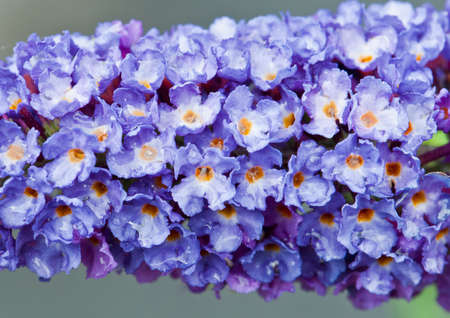A close-up shot of a buddleia flower. Stock Photo