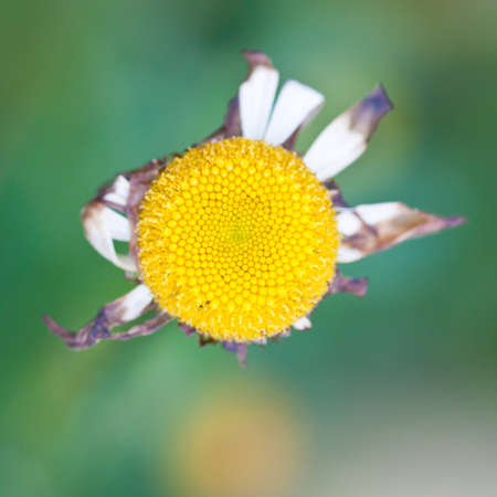 The final days of an ox eye daisy. Stock Photo - 11211904