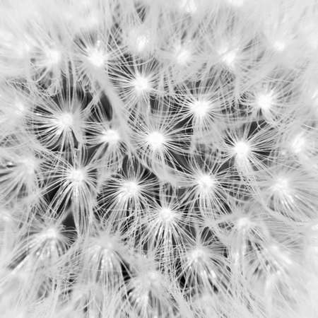 The seeds of a dandelion clock. photo