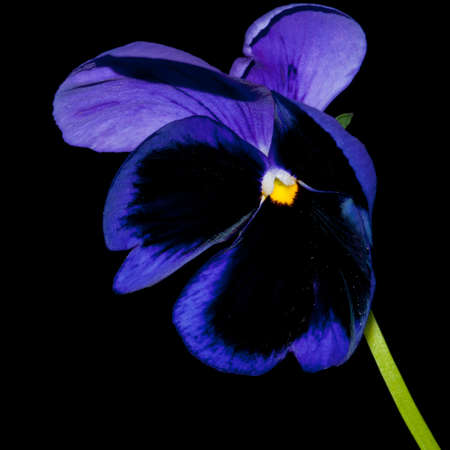A close-up of a pansy isolated against a black background.