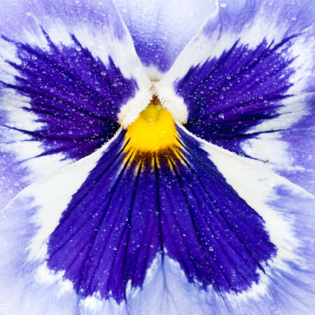 Looking at the angel like pattern at the centre of a blue pansy.