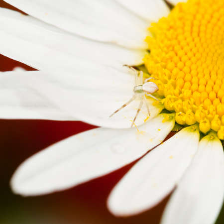 A crab spider waits for prey on the white petals of a daisy. photo