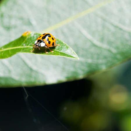A ladybird sits on a green bay tree leaf. photo