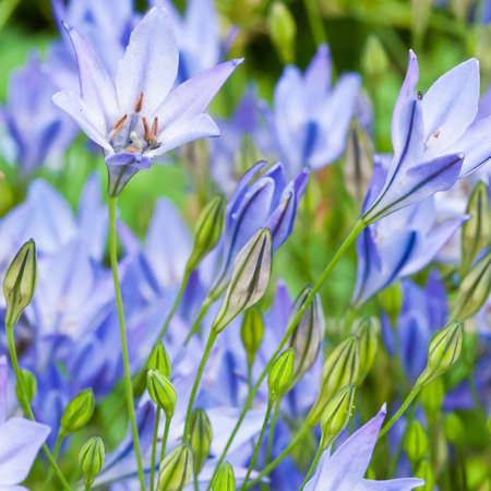 A collection of blue grass nut blooms. Stock Photo