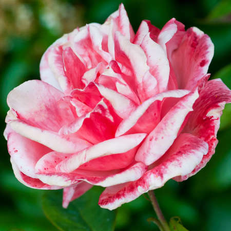 queen elizabeth: A beautiful pink Queen Elizabeth rose. Stock Photo