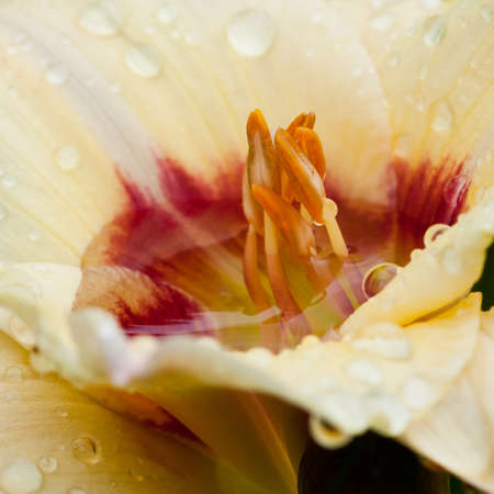 Stamens emerge from the water at the centre of a daylily. photo