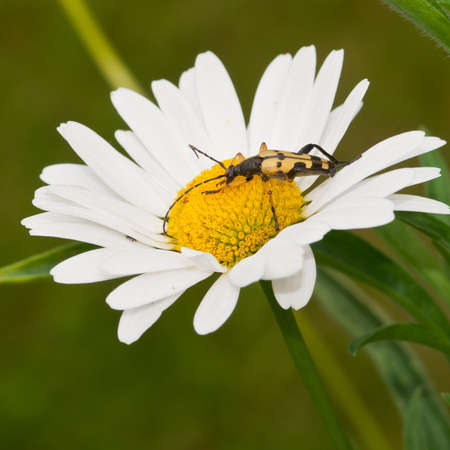 longhorn beetle: A longhorn beetle sits atop an ox eye daisy.