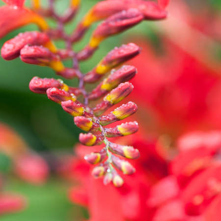 A collection of wet crocosmia buds get ready to open for the season. Stock Photo - 12072737