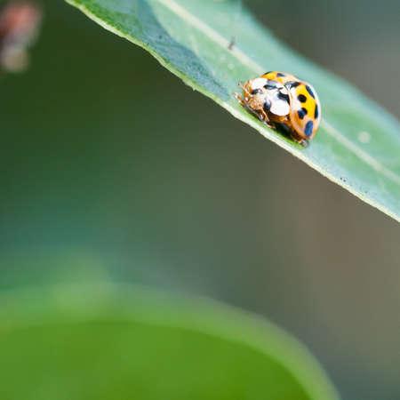 bay leaf: A ladybird sitting on a bay leaf. Stock Photo