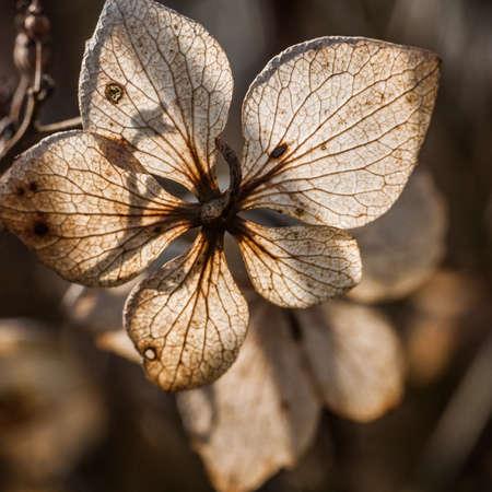 A close-up of a backlit hydrangea flower bract