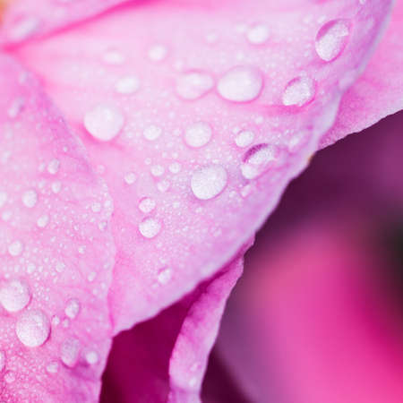 A close-up of raindrops on a pink camellia bloom  Stock Photo