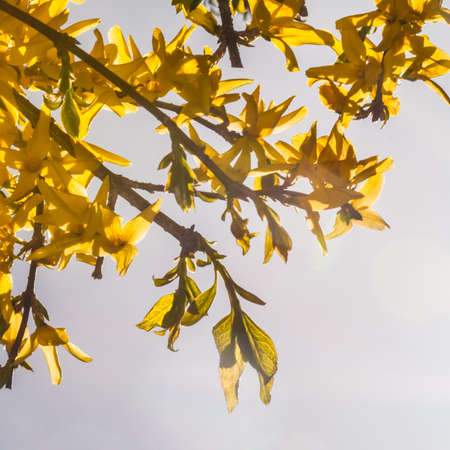 The flowers of a forsythia bush, backlit by the sun  Stock Photo - 13048524