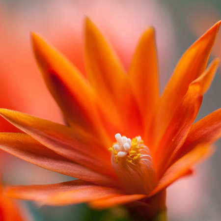 A close-up of an orange Easter cactus bloom