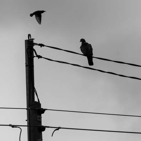 A pigeon perches on a wire as a starling passes by