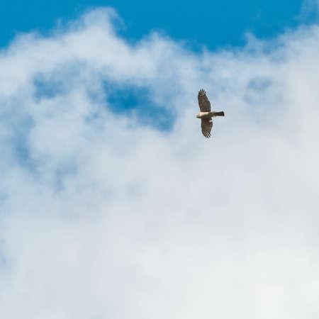 sparrowhawk: A sparrowhawk soars through the sky