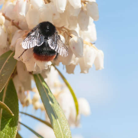 A bumblebee collects pollen from the little blooms of a forest flame bush Stock Photo - 13220048