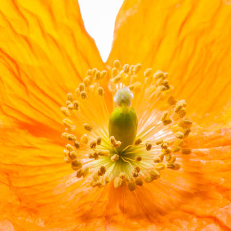 A close-up of the centre of an orange Welsh poppy  photo