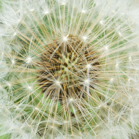 dispersed: A dandelion seed head ready to be dispersed