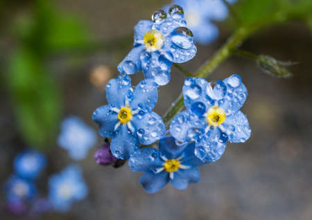 endure: A collection of forget me nots endure the rain  Stock Photo