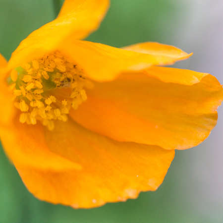 A close-up of a Welsh Poppy opening for the first time  photo