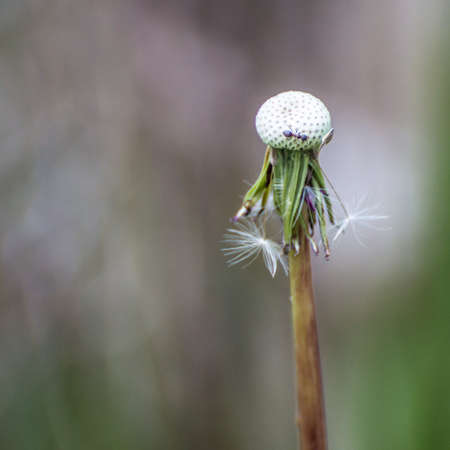 An ant runs round and round a dandelion seed head  photo