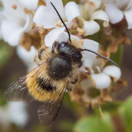 nibbles: A small bee nibbles on pollen of a hebe bush