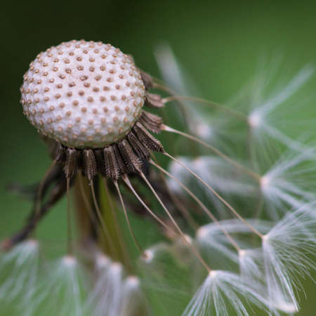 A macro shot of the remaining dandelion seeds hanging onto the seed head  photo