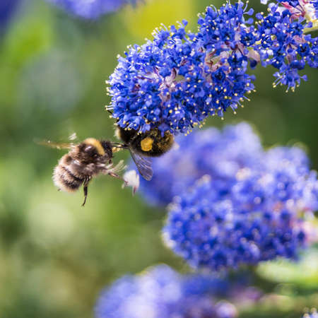Two bees meet whilst collecting pollen from a california lilac bush