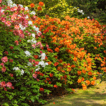 exbury: Colourful shrubs on display at Exbury Gardens in the New Forest