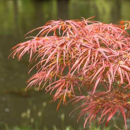 exbury: The finger like leaves of an acer palmatum reach out over the pond at Exbury Gardens