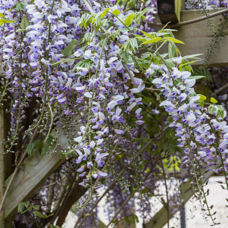 Wisteria falls down the sides of a pagoda type structure  Stock Photo