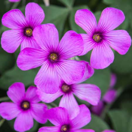 The dark pink petals of oxalis, considered a weed by some Stock Photo - 13810113