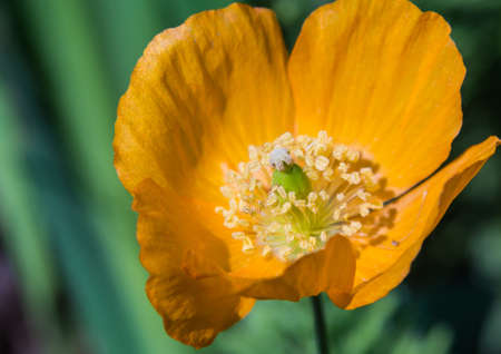 A close-up of a Welsh Poppy  photo