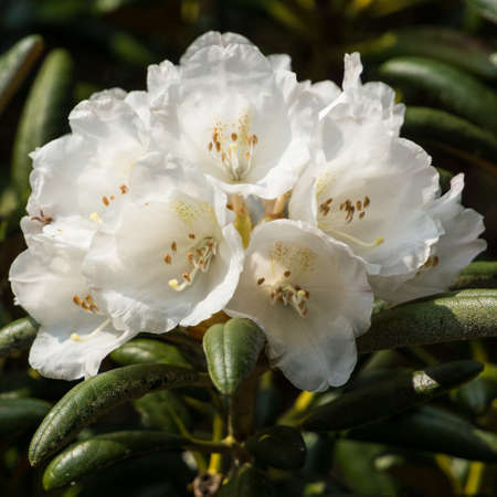 exbury: A collection of white rhododendron blooms  Stock Photo
