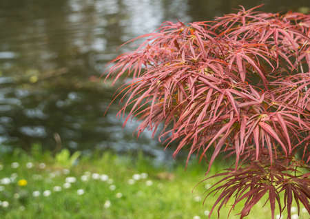 A Japanese Maple stands close to the water at Exbury Gardens