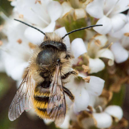 A small bee collects the pollen of a hebe bush
