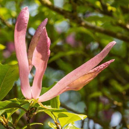 A close-up of a magnolia bloom,