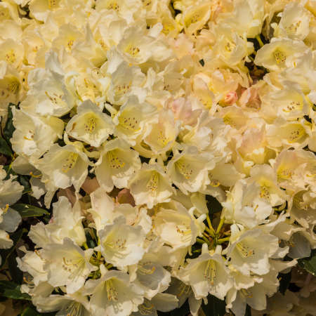 exbury: A close-up of a clump of rhododendron blooms on show at Exbury Gardens  Stock Photo