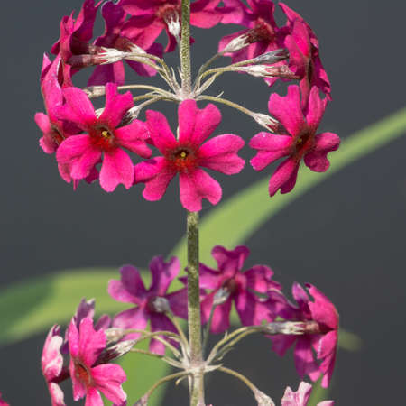 A close-up of a primula standing next to some water