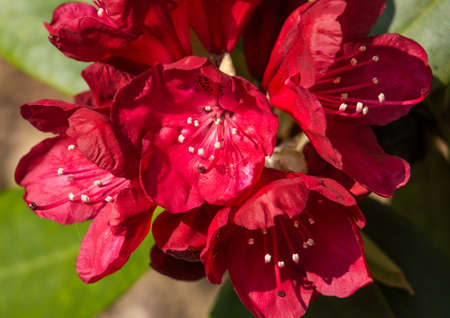 exbury: A close-up of a clump of rhododendron blooms