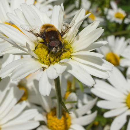 ox eye: A hoverfly sits atop an ox eye daisy  Stock Photo