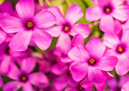 A collection of oxalis shine in the sun  Stock Photo - 14088966