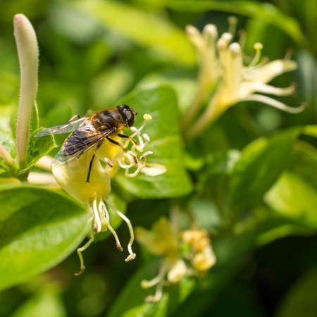 A bee feeds from a honeysuckle bloom