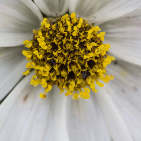 A close-up shot of the centre of a white cosmos bloom  photo